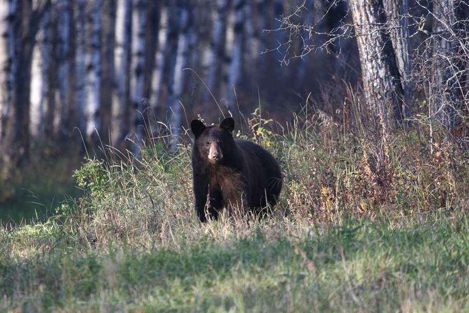 Black Bear Big Game Hunting