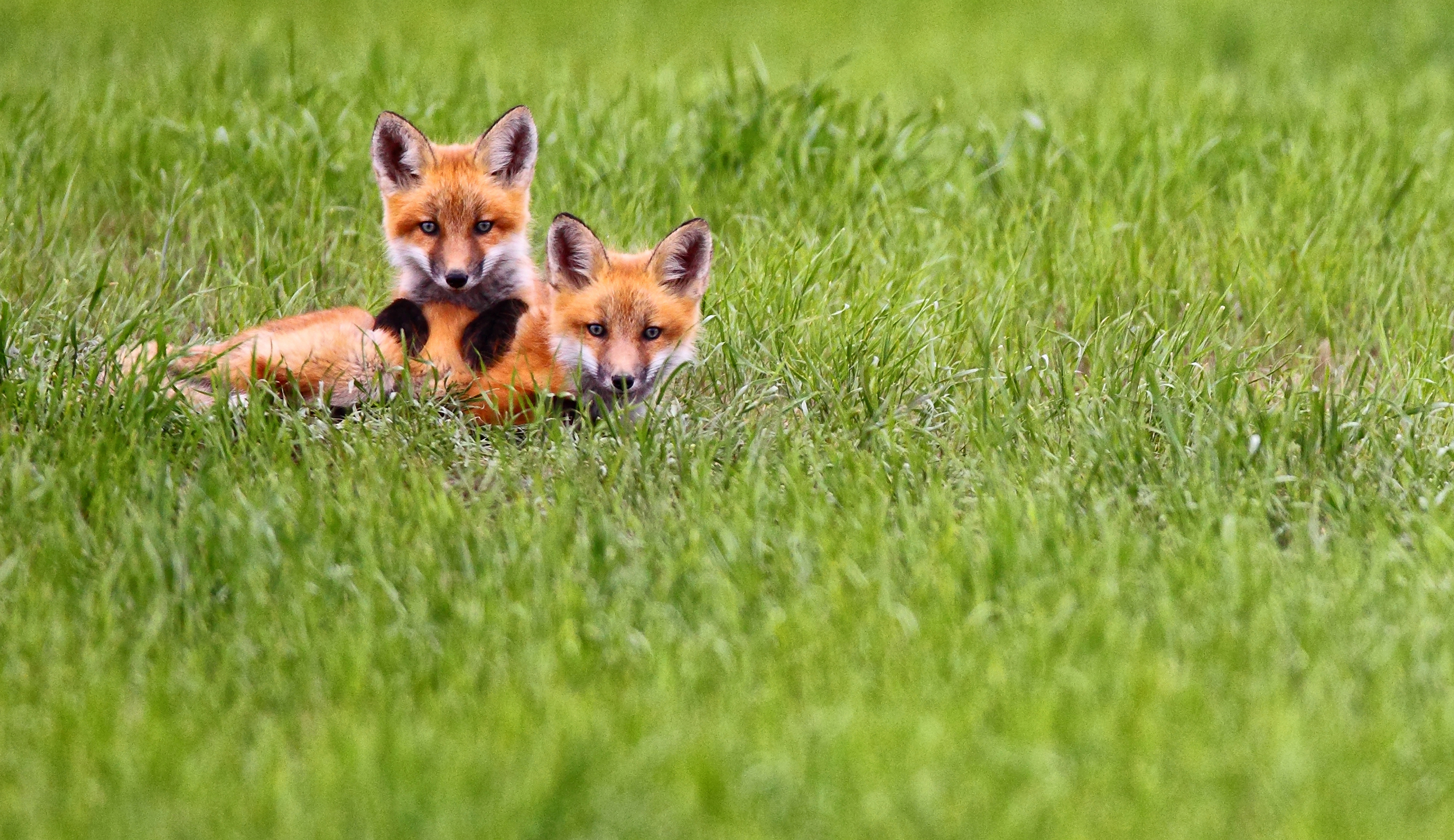 Fox Wildlife Viewing